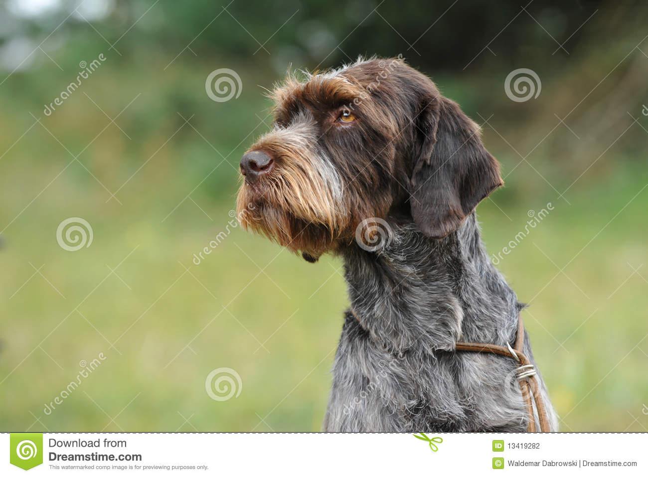 Cesky Fousek Dog: Cesky Stock Graphy Cesky Fousek Breed