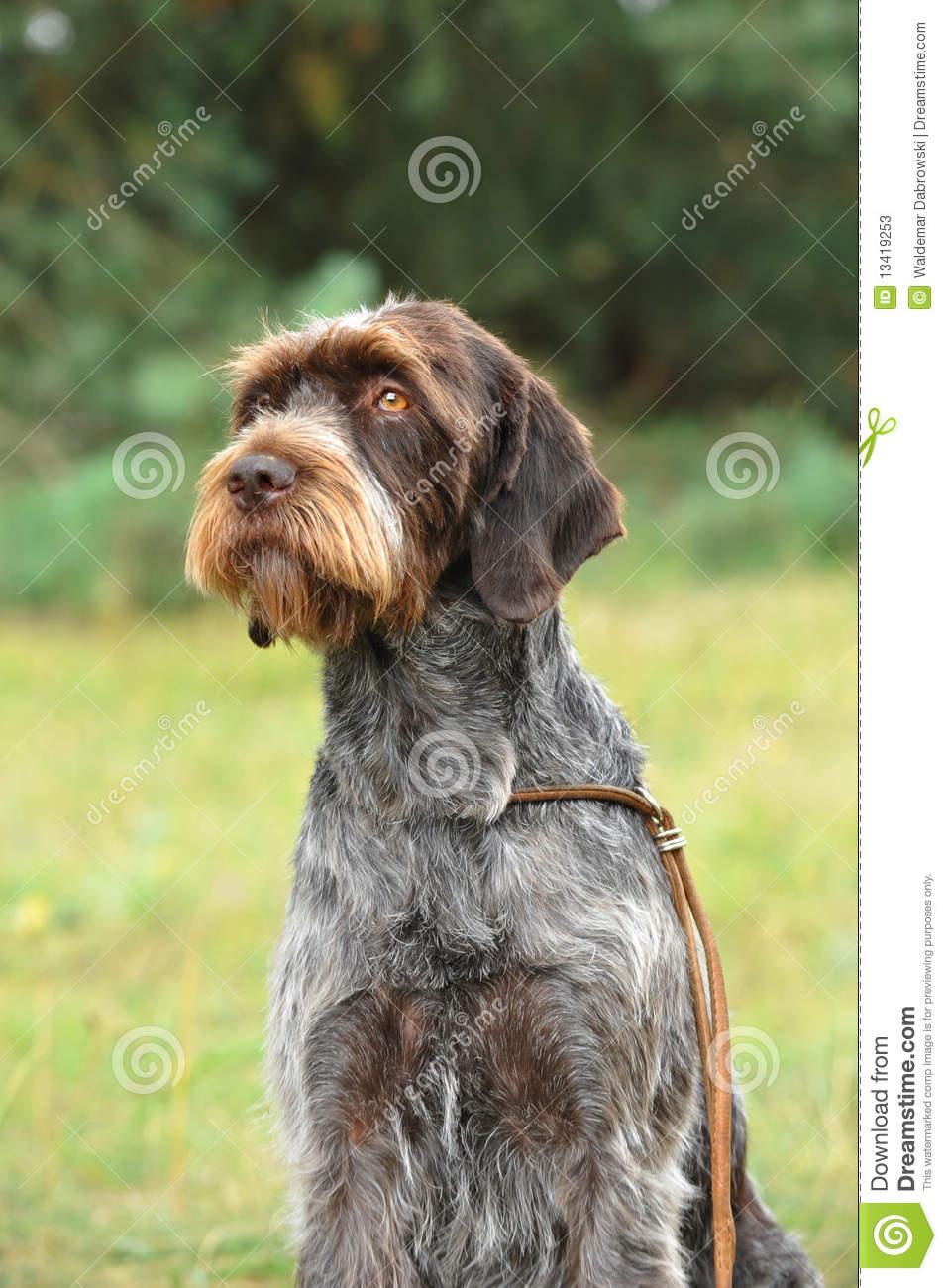 Cesky Fousek Dog: Cesky Stock S Cesky Fousek Dog Breed