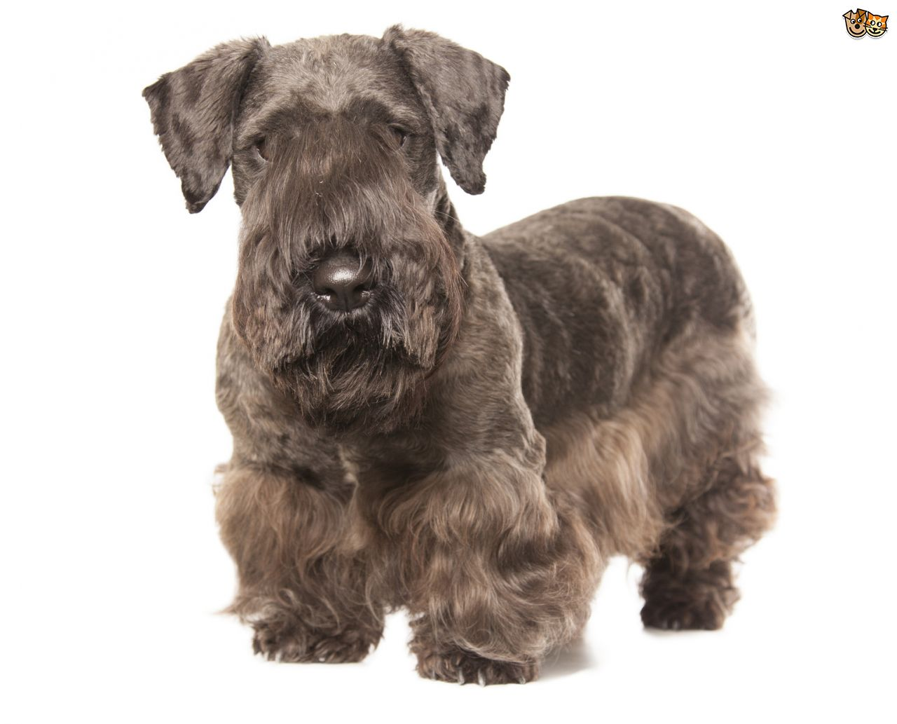 Cesky Terrier Puppies: Cesky The Breed Standard And Appearance Of The Cesky Terrier