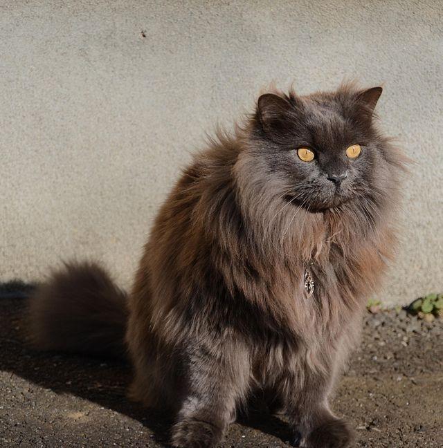 Chantilly-tiffany Cat: Chantilly Tiffany Breed