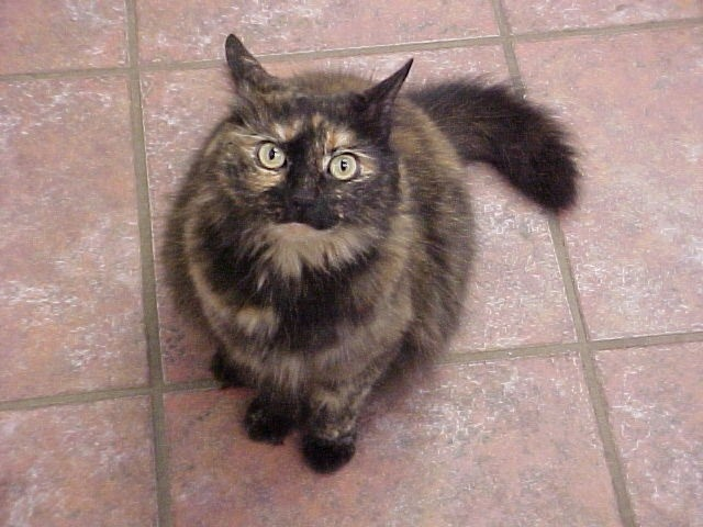 Chantilly-tiffany Kitten: Chantilly Tiffany Cats Chantilly Or Tiffany Breed