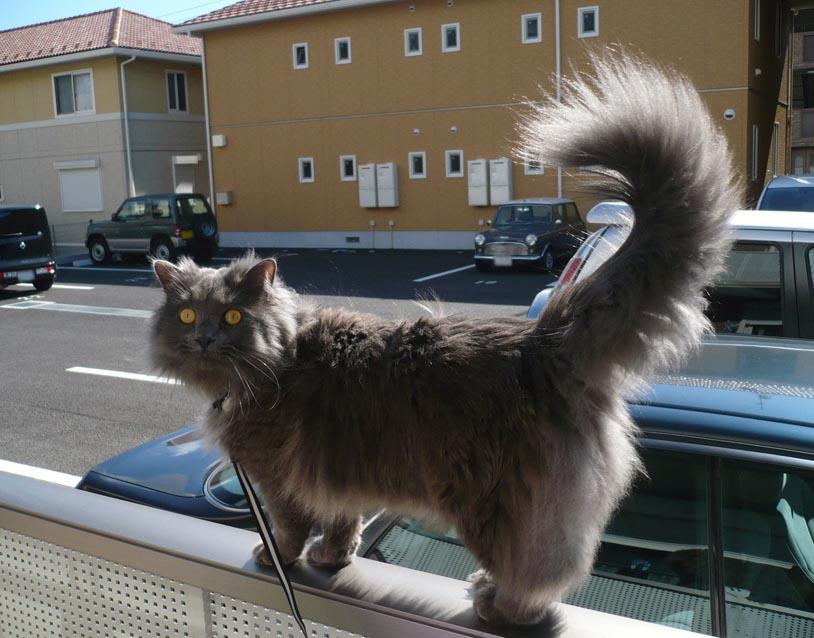 Chantilly-tiffany Cat: Chantilly Tiffany Chantilly Tiffany Breed