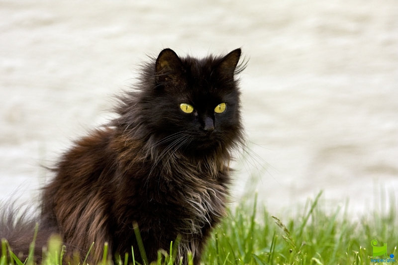 Chantilly-tiffany Cat: Chantilly Tiffany Chantilly Tiffany In Nature Breed