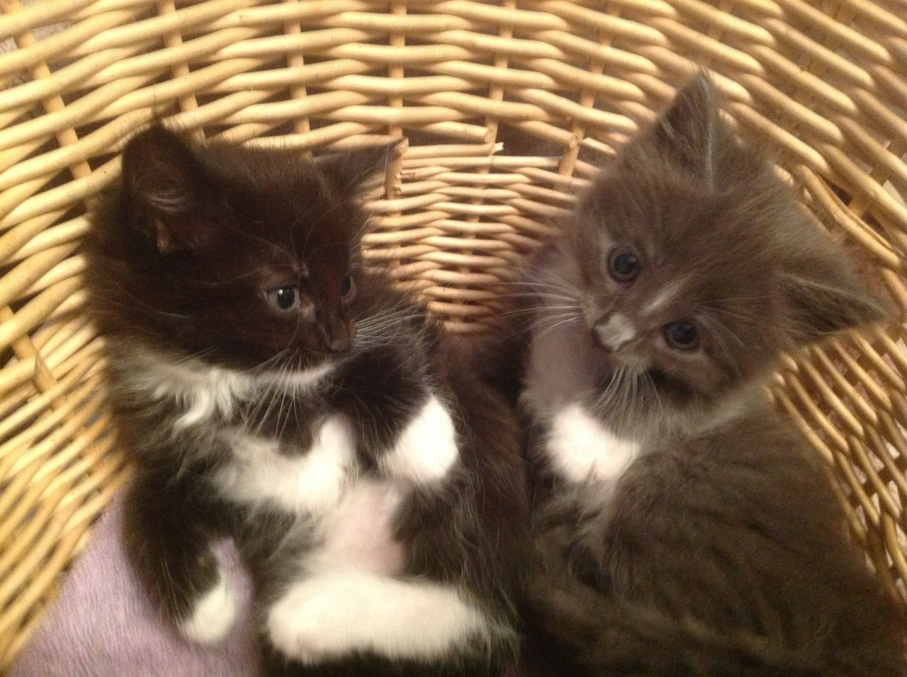 Chantilly-tiffany Kitten: Chantilly Tiffany Chantilly Tiffanyburmese X Kittens For Sale Carshalton Breed