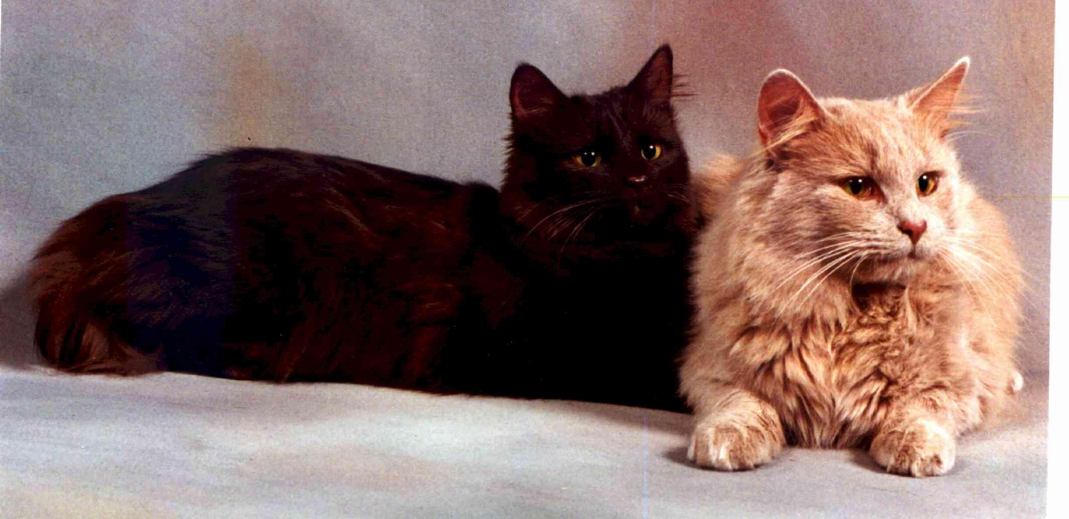 Chantilly-tiffany Cat: Chantilly Tiffany Faqtiffany Breed