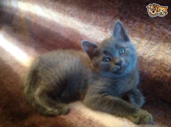Chantilly-tiffany Kitten: Chantilly Tiffany Tiffanie Burmese X British Blue Shorthair Carshalton Breed