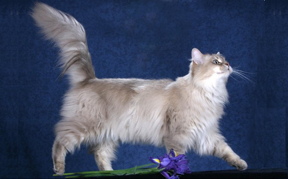 Chantilly-tiffany Kitten: Chantilly Tiffany Tiffany Chantilly Cat Breed