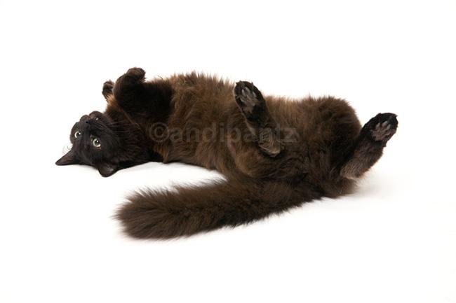 Chantilly-tiffany Cat: Chantilly Tiffany Top Friendliest Cat Breeds In World