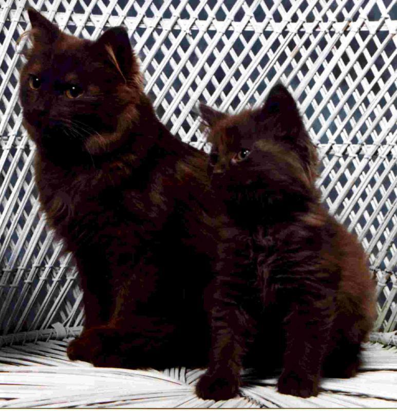 Chantilly-tiffany Cat: Chantilly Tiffany Two Chantilly Tiffany Cats Breed