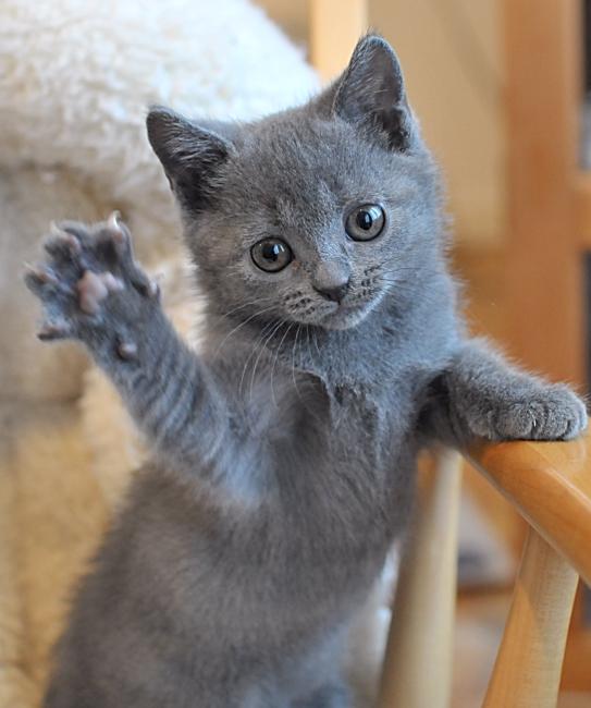 Chartreux Kitten: Chartreux Breed