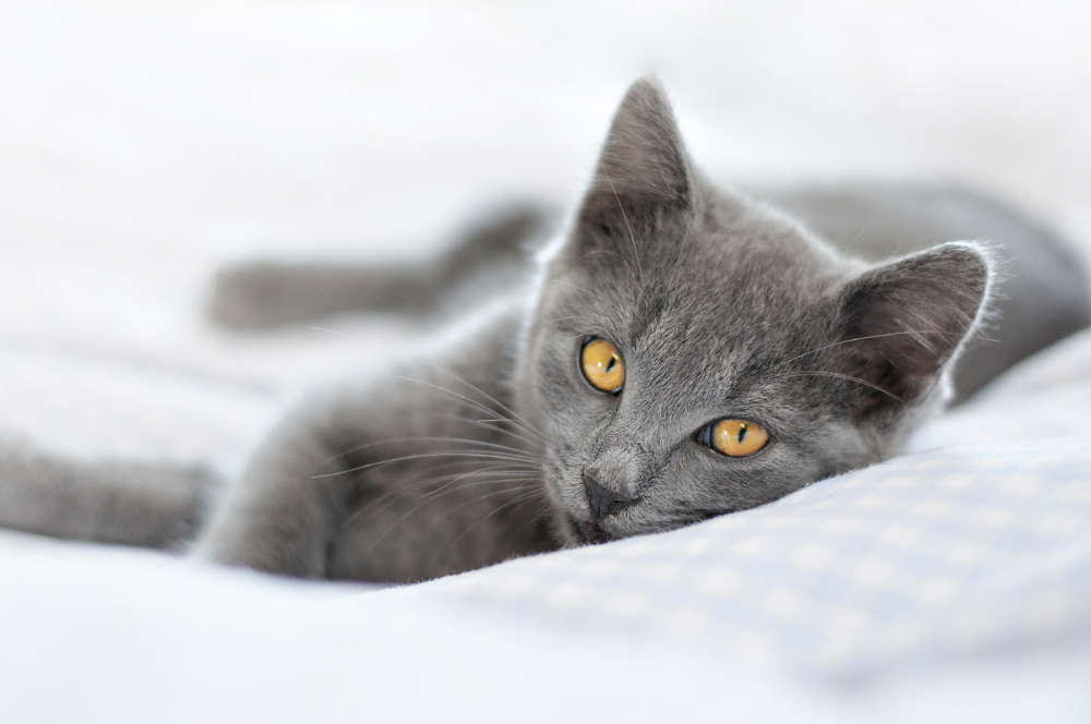 Chartreux Kitten: Chartreux Chartreux Cat Breed