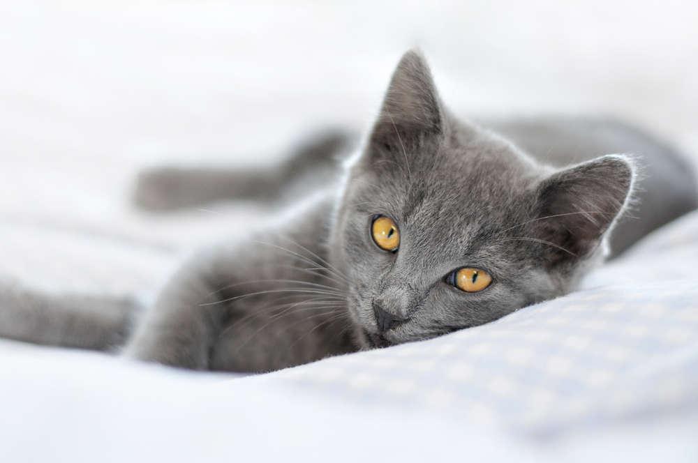Chartreux Kitten: Chartreux Chartreux Cat Breed