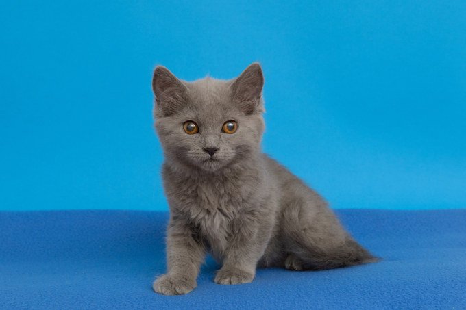 Chartreux Kitten: Chartreux Chartreux Cats Breed