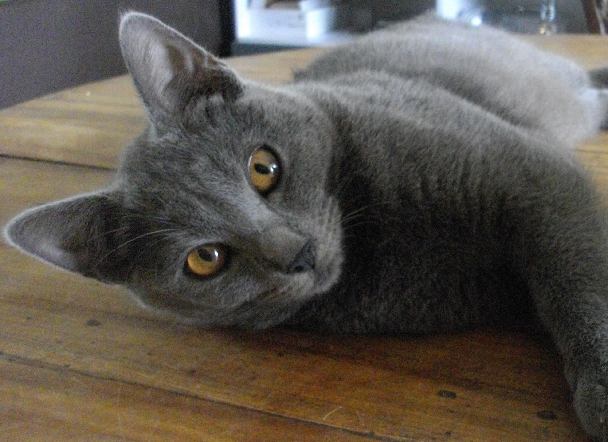 Chartreux Cat: Chartreux Chartreux Katze Breed
