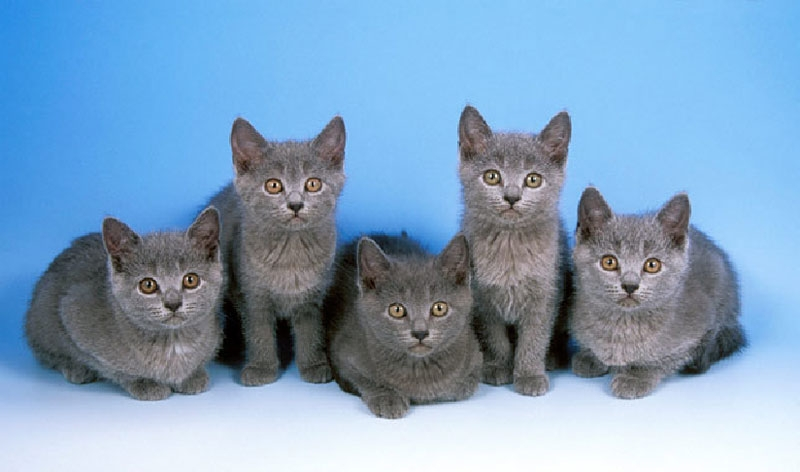 Chartreux Cat: Chartreux Chartreux Kittens Blue Background Breed