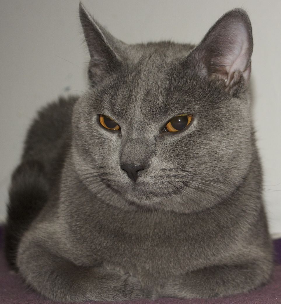 Chartreux Kitten - Puppy Dog Gallery