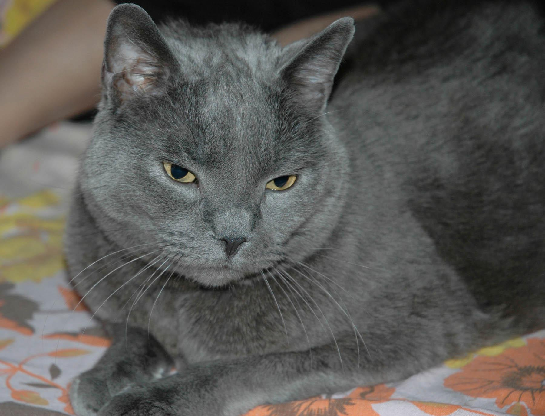 Chartreux Cat: Chartreux Httpwwwbuzzlecomimgarticles Jpg Breed