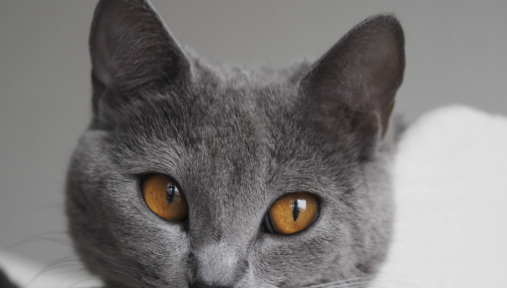 Chartreux Kitten: Chartreux Kartauser Chartreux Breed