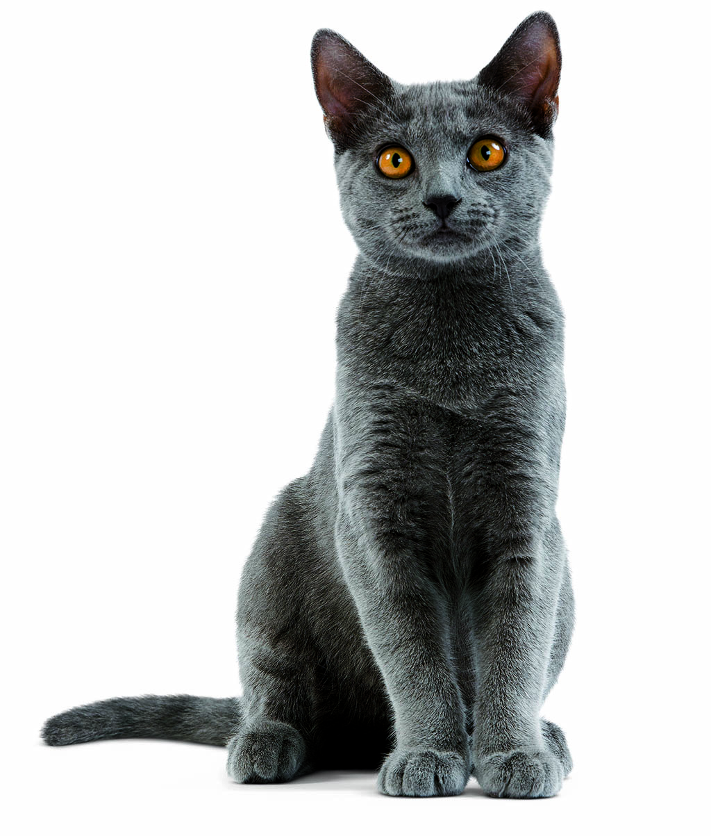 Chartreux Cat: Chartreux Karthauzi Macska Breed
