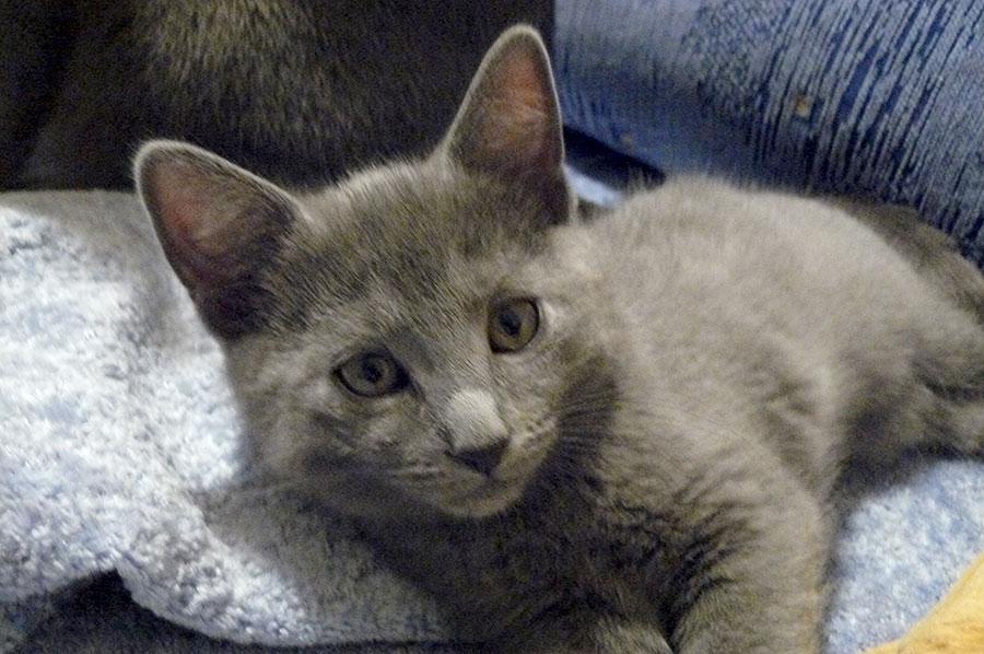 Chartreux Kitten: Chartreux Kittens Breed