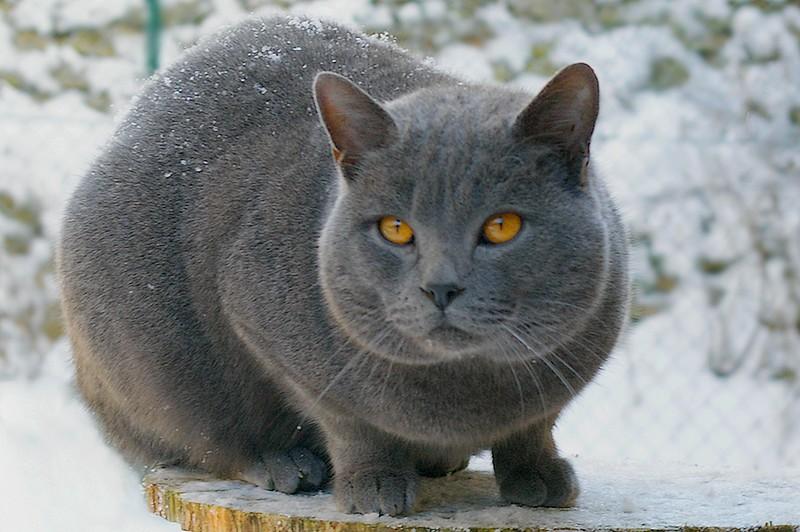 Chartreux Cat: Chartreux Le Chartreux Breed