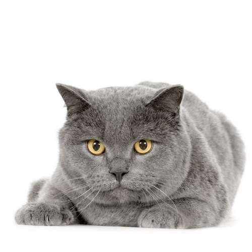 Chartreux Cat: Chartreux Pisica Chartreux Breed