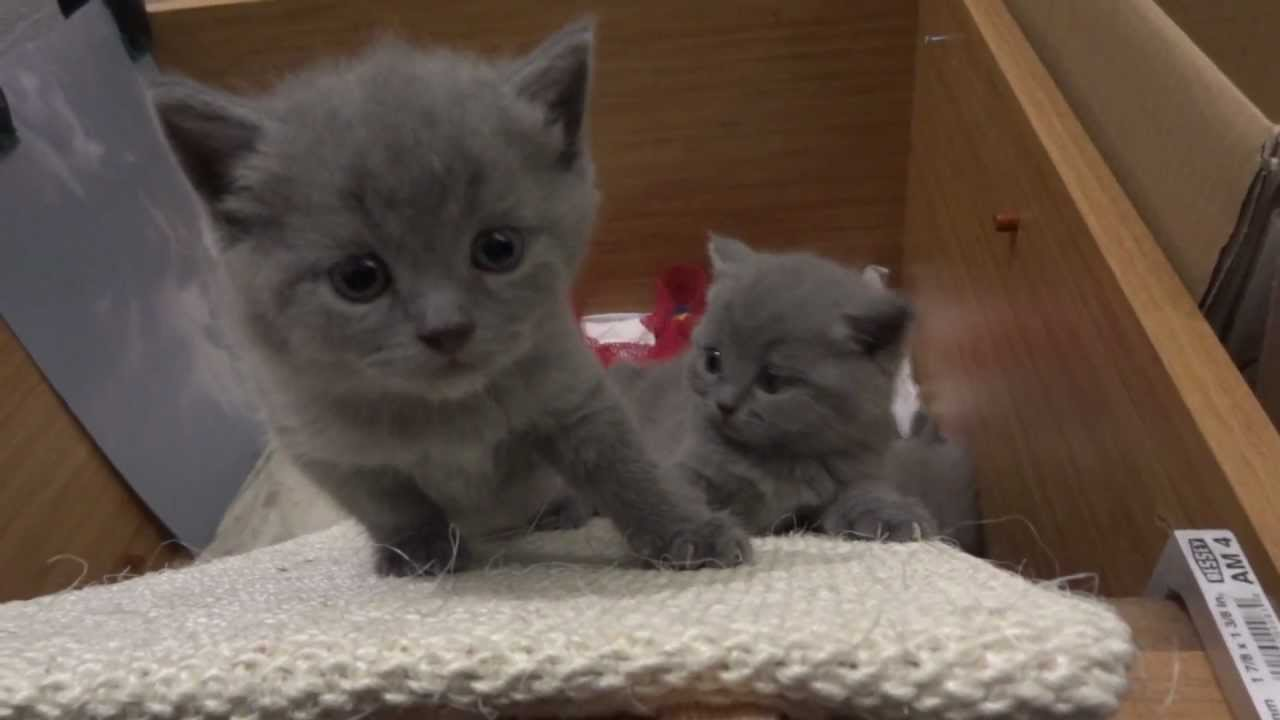Chartreux Kitten: Chartreux Watch Breed