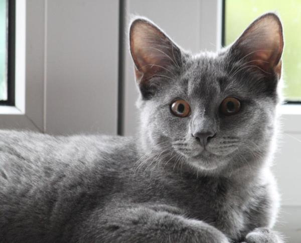 Chartreux Kitten: Chartreux Wir Zuechten Seit Jahren Breed