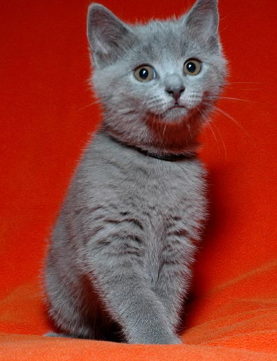 Chartreux Kitten: Chartreux Youngchartreuxkitten Breed