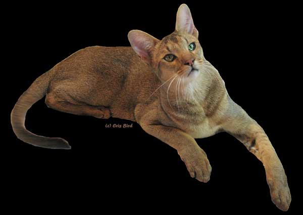 Chausie Cat: Chausie Breed