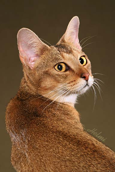 Chausie Cat: Chausie Chausie Breed