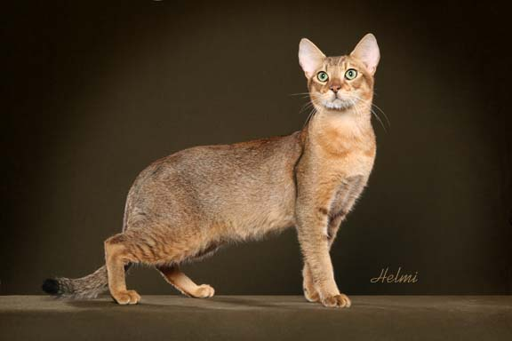 Chausie Cat: Chausie Chausie Cat Breed Pictures