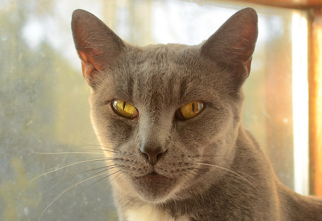 Chausie Cat: Chausie Chausie Cat Breed