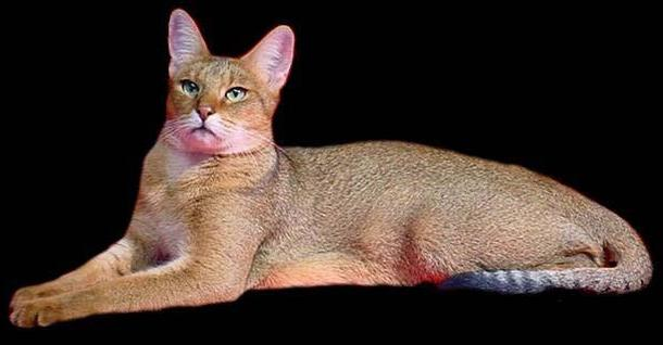 Chausie Cat: Chausie Chausie Cat Breeders Cats And Kittens