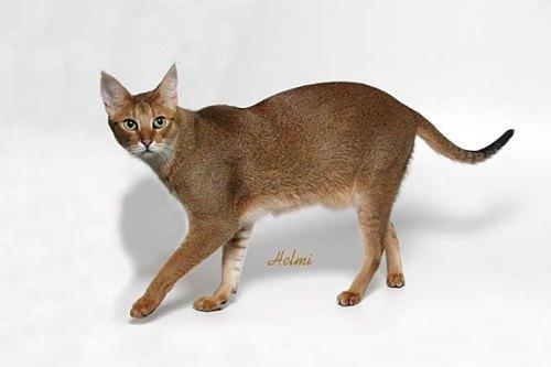 Chausie Cat: Chausie Chausie Cat Breeders