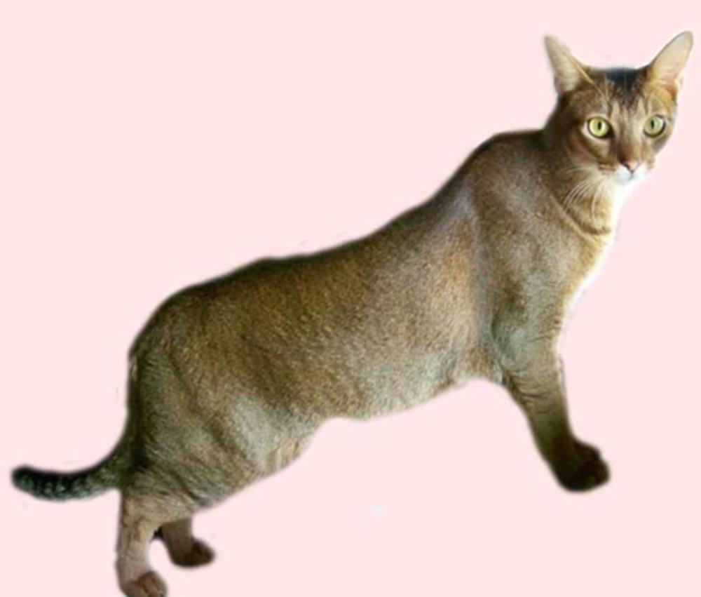 Chausie Kitten: Chausie Chausie Picture Breed