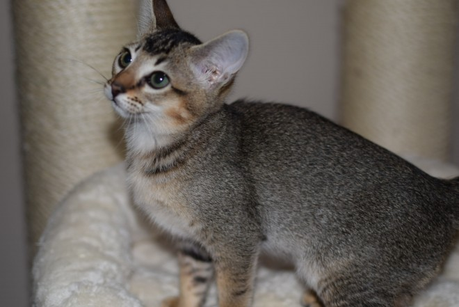 Chausie Cat: Chausie Fa Chausie Kittens Tica Registered Buckingham Breed