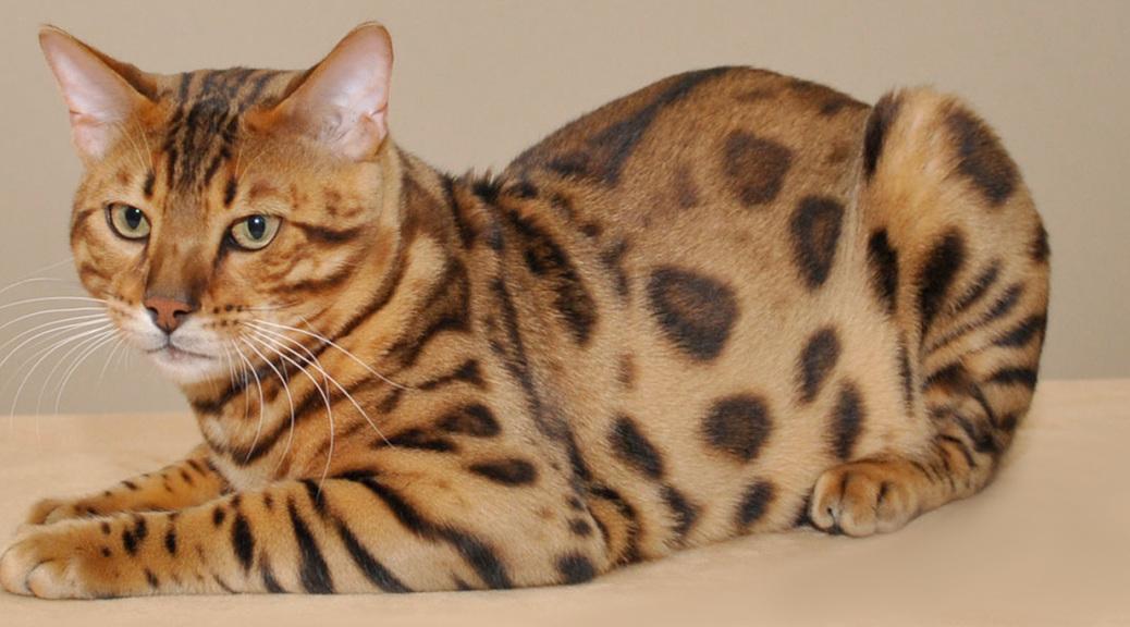Chausie Kitten: Chausie Httpcdnjoystudiodesigncomlargebreeders Of Bengal Cats Chausie Cats Savannah Cats And Safari Cats Jpg