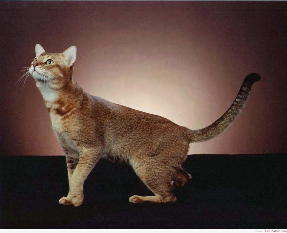 Chausie Cat: Chausie Pisica Chausie Breed