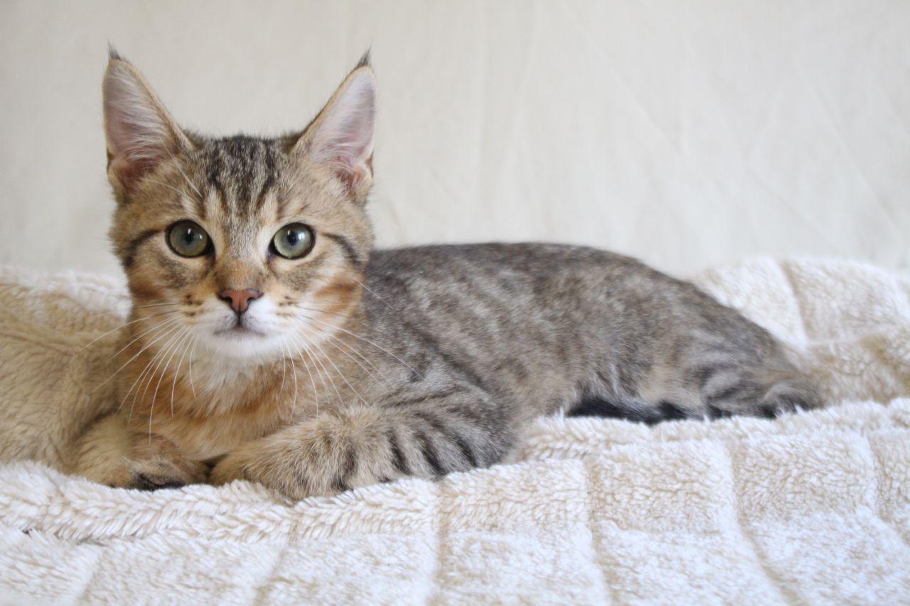 Chausie Cat: Chausie Pixie Bob X Chausie Tica Chausie Fa Hull Breed