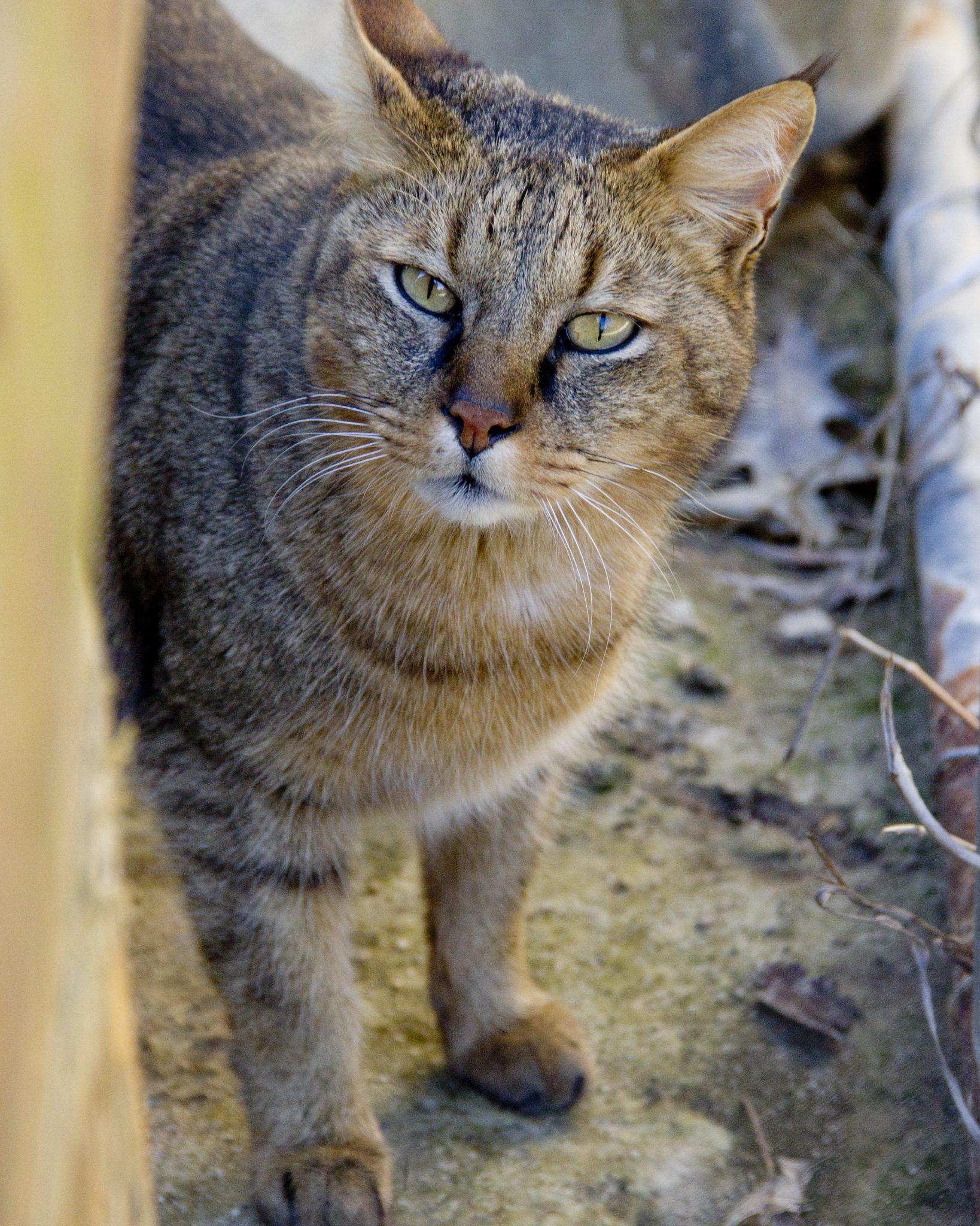 Chausie Cat: Chausie Termite Chausie Cat Breed