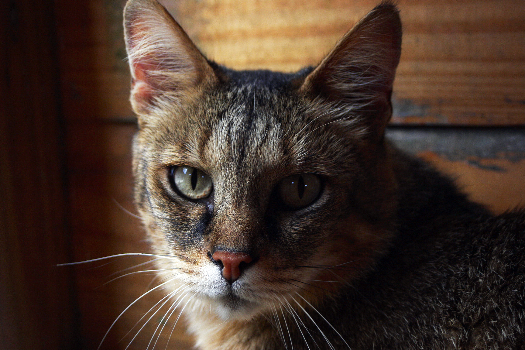 Chausie Cat: Chausie Tessa Chausie Cat Breed