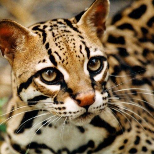 Cheetoh Cat: Cheetoh Breed