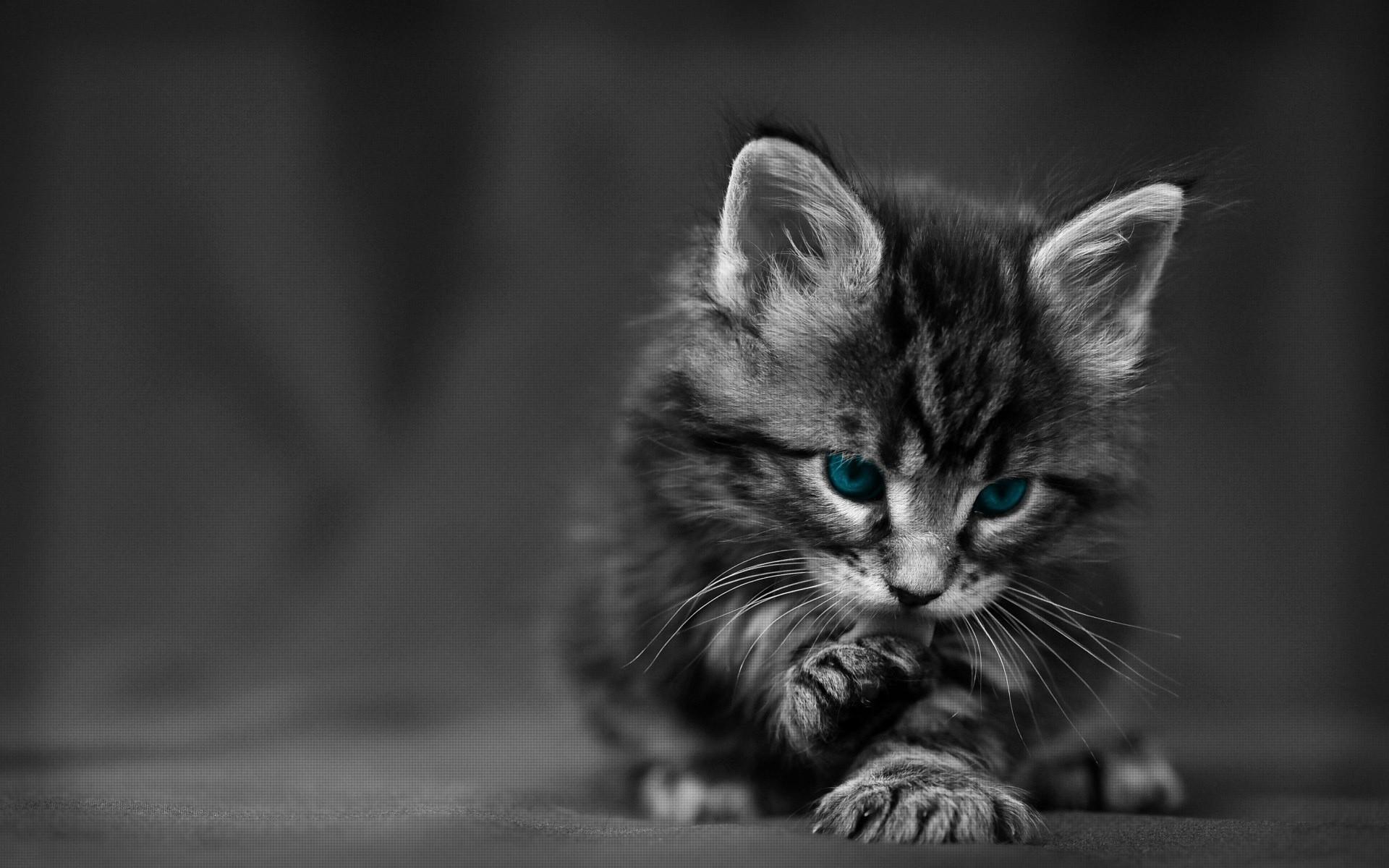 Cheetoh Kitten: Cheetoh Cheetoh Kitten Breed