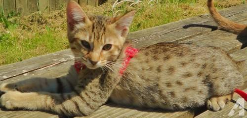 Cheetoh Kitten: Cheetoh Kitten For Adoption Washington State Breed