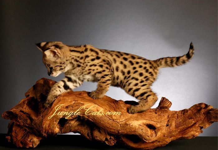 Cheetoh Cat: Cheetoh Orange Cheetoh Cats Breed