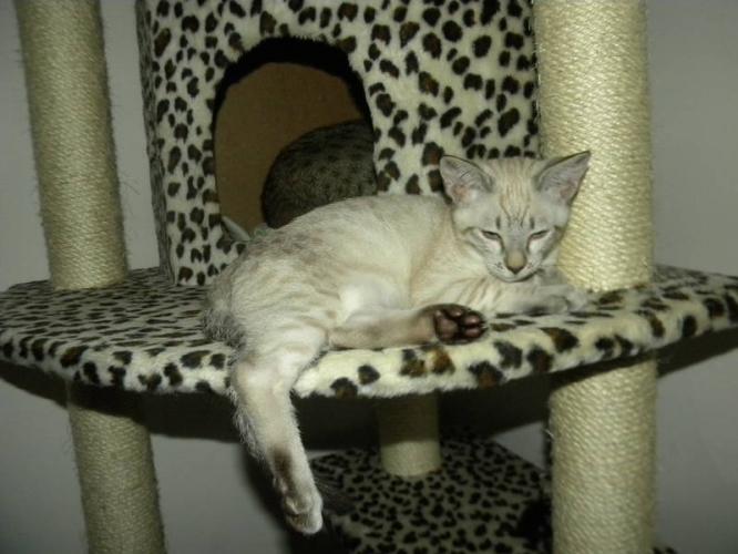 Cheetoh Kitten: Cheetoh Rare Cheetoh Kittens Breed