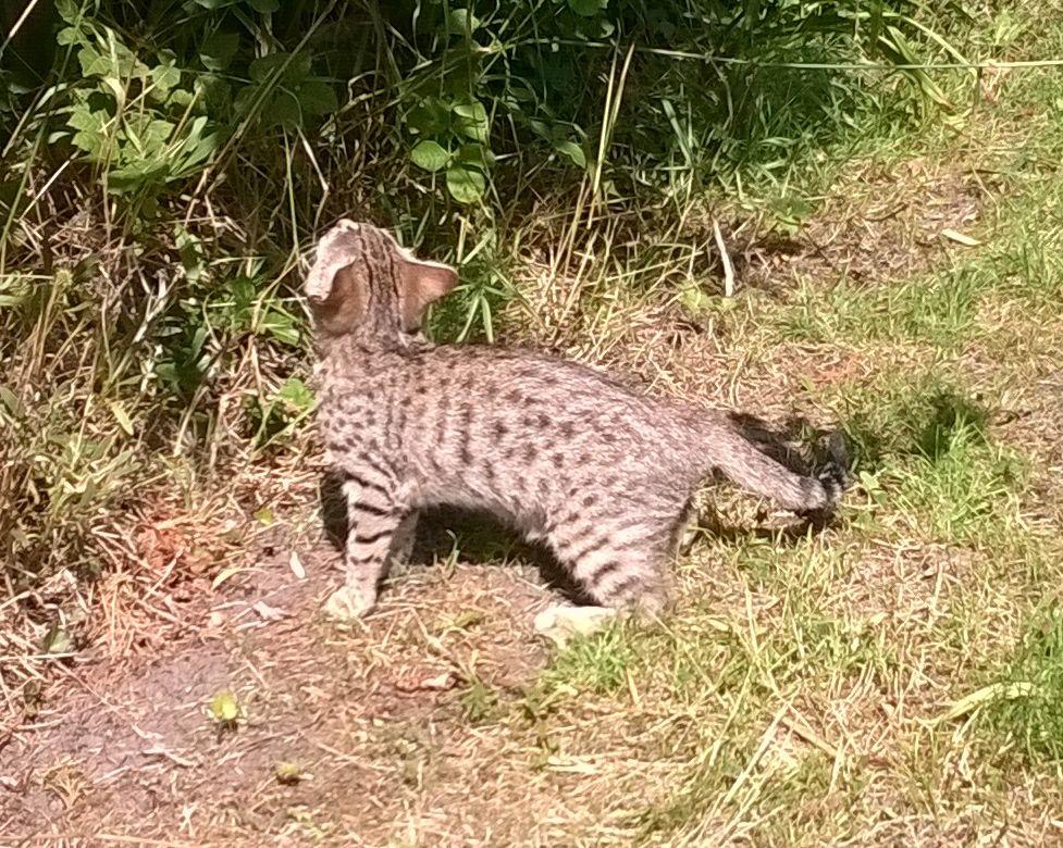 Cheetoh Kitten: Cheetoh S Breed