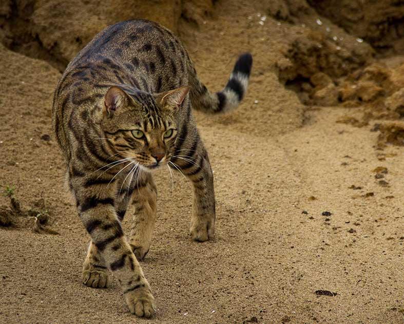 Cheetoh Cat: Cheetoh Www Breed