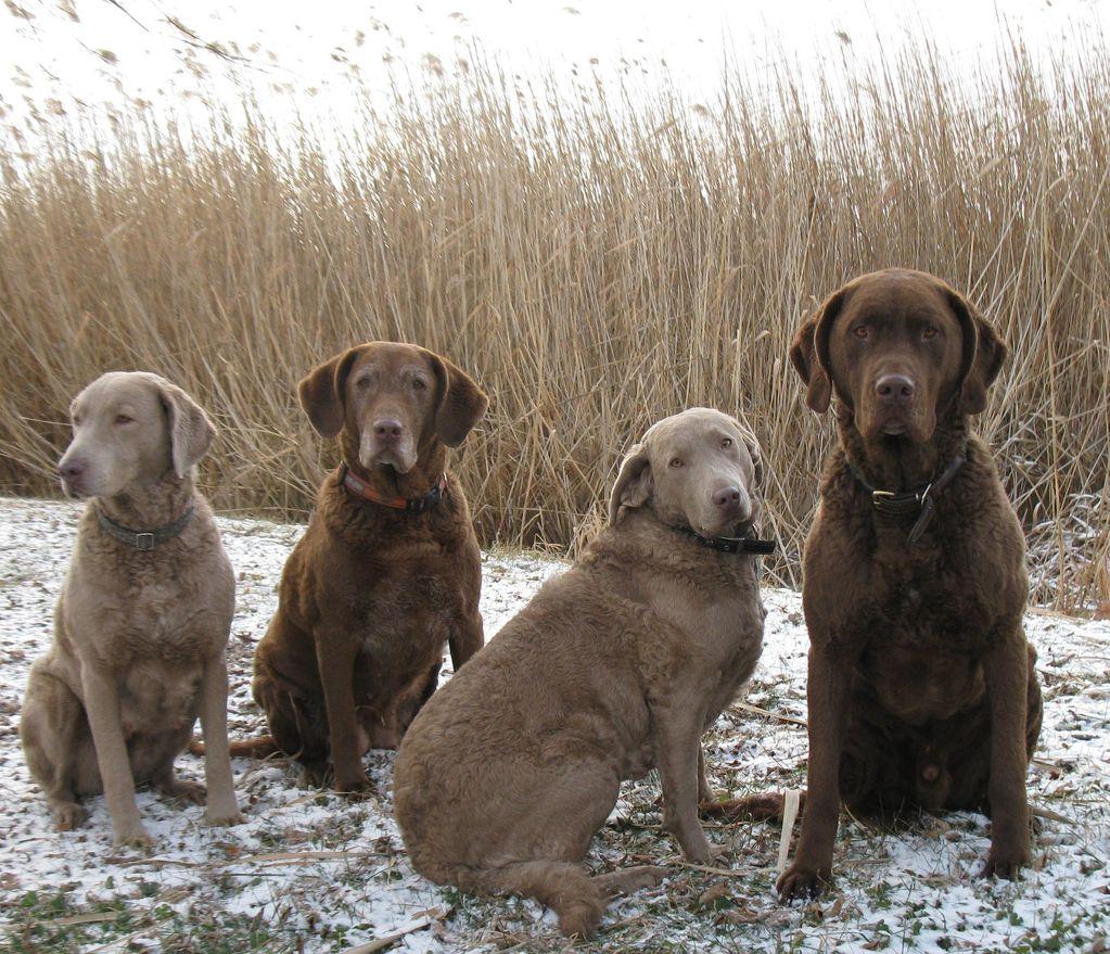 Chesapeake Bay Retriever Dog: Chesapeake Chesapeake Bay Retriever Dog Breed